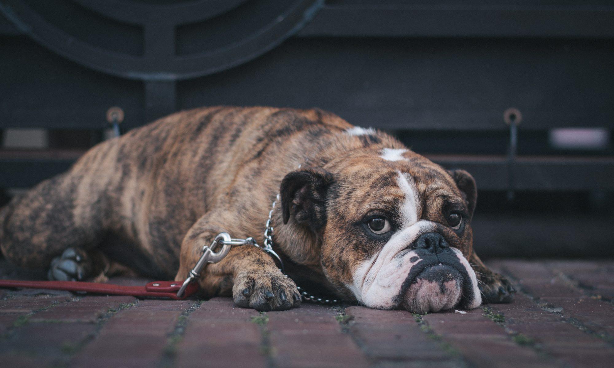 Armadillo Bulldog